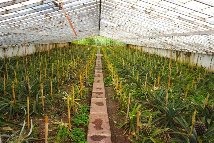 pineapple plantation azores_Jenny Miller
