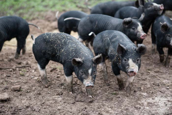 PIgs at Yarra Valley Piggery. (Photo courtesy of Yarra Valley Piggery.)