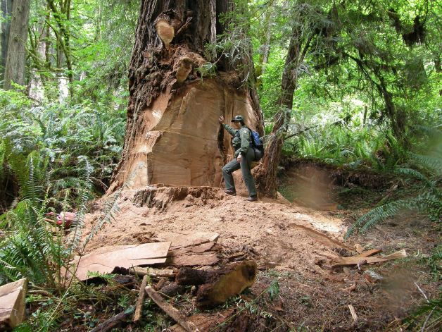 Redwood parks close road to deter burl poachers