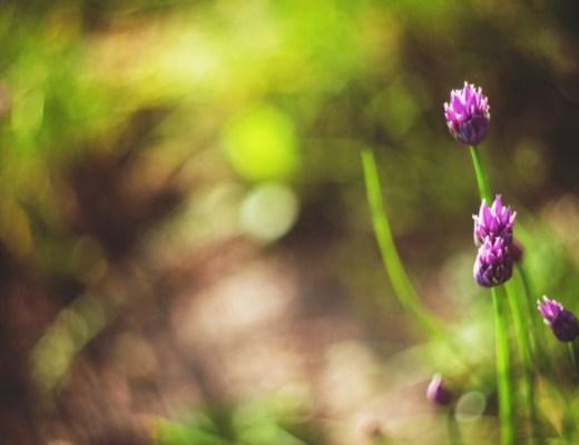 Resized_Vintage photo of a beautiful purple flowers 4