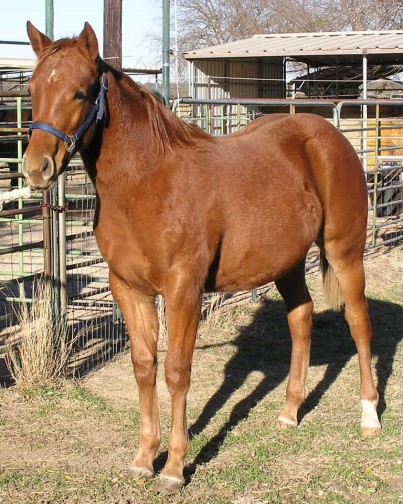Foundation Quarter Horses For Sale in Texas Ranch Quarter Horses Sale