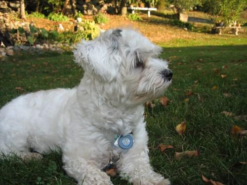 Medium Of Havanese Puppy Cut