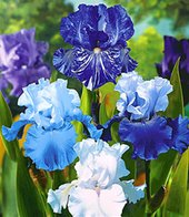 Iris-Mix ´Sea Breeze´,4 Knollen