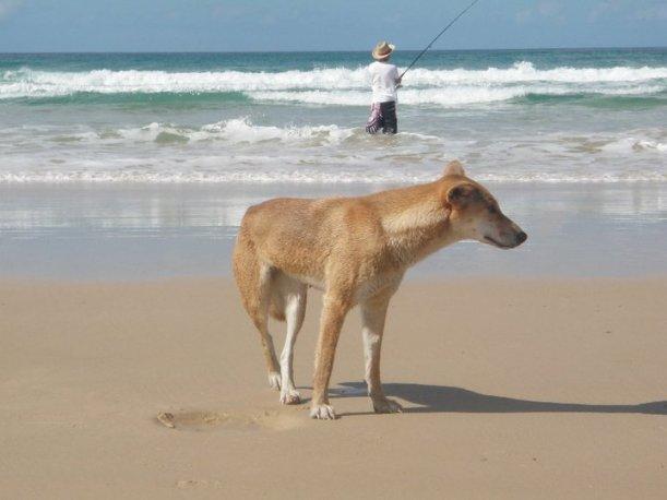 Dingo - Fraser Island