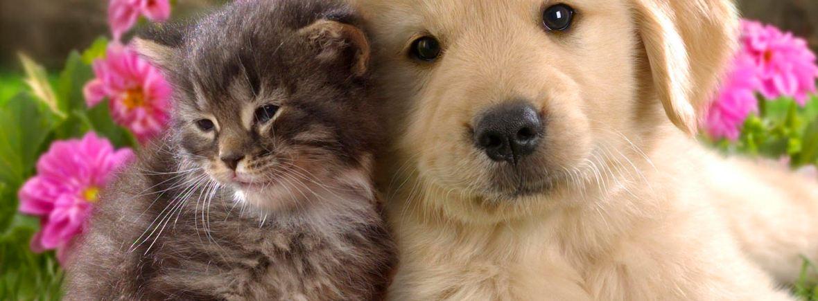 kattoghund