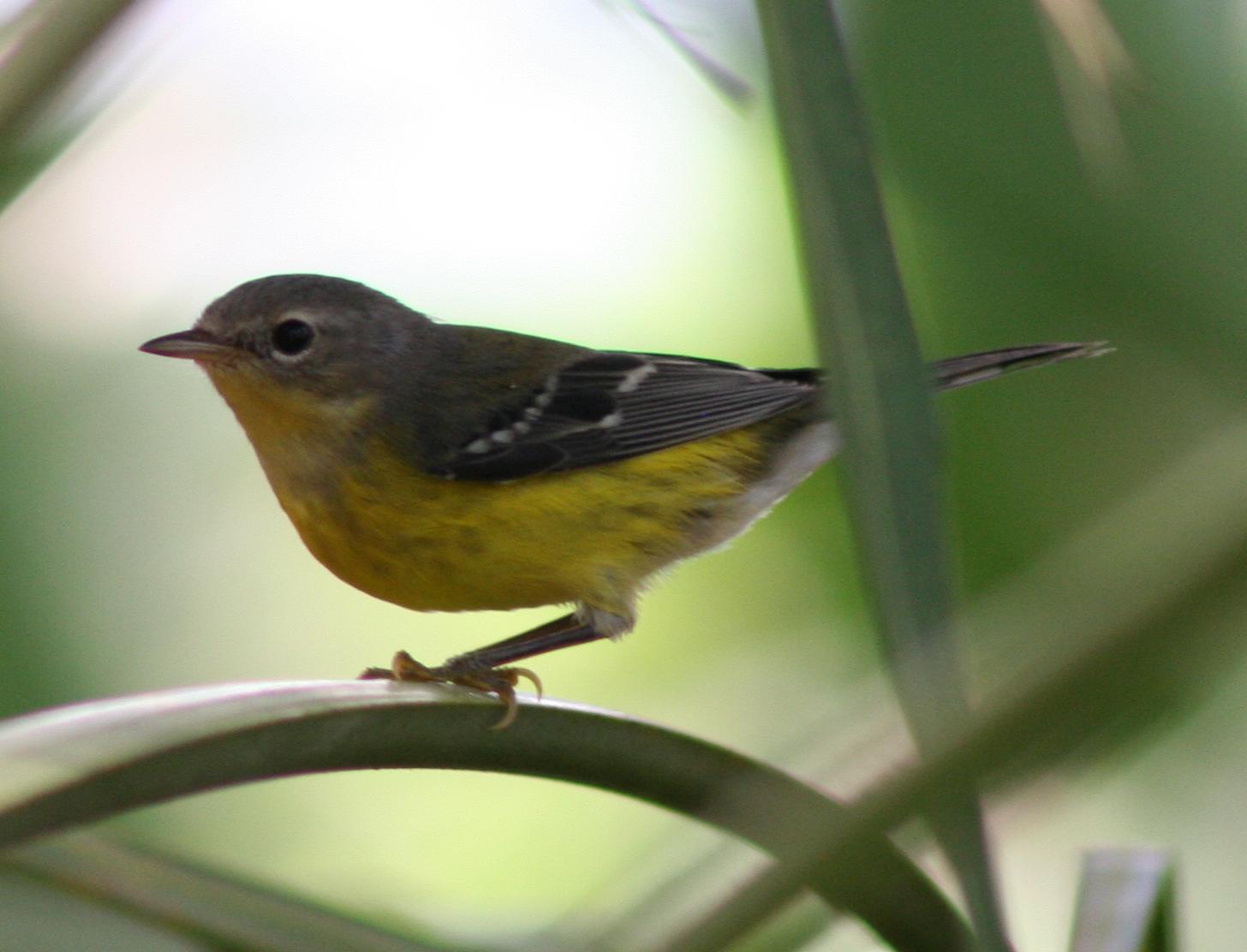 backyard birding life list the nature lady