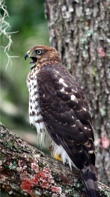 Hawk, Cooper's
