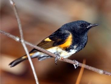 Redstart, American, Male