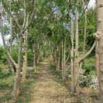 Pathway to Cristo through Moringa trees, Casa Blanca