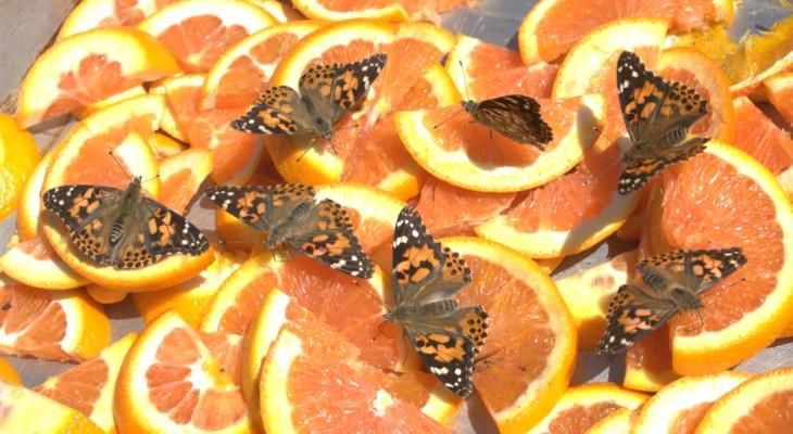 Mariposa Butterfly Festival