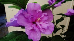 Small Of Rose Of Sharon Hibiscus