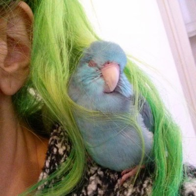 blue parrotlet with green dyed hair