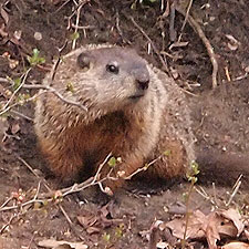 groundhog at Slater Mill