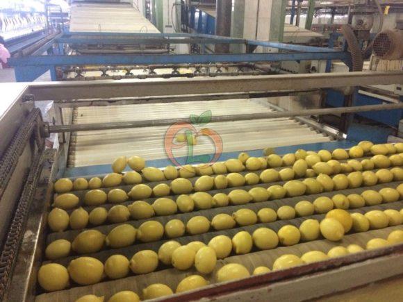 Lemons on processing line | Fruit Link