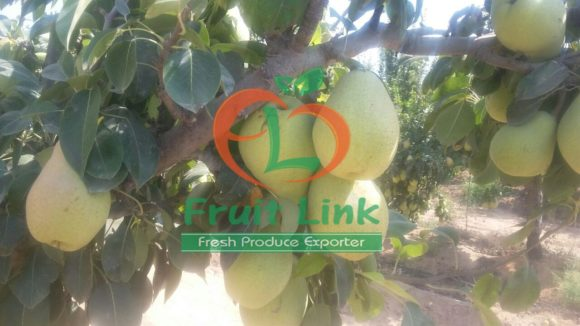 Pears by Fruit Link