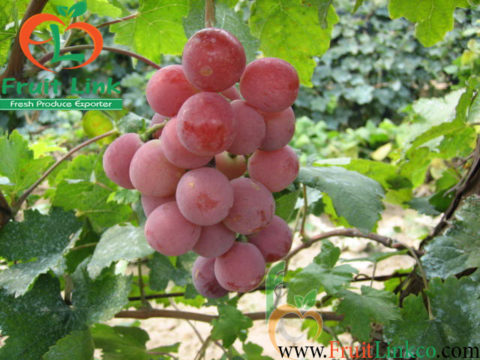 Red-Globe-FruitLink