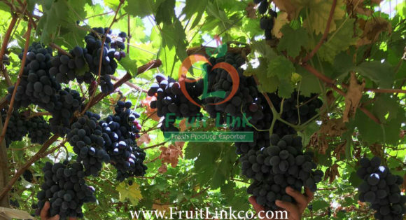 Autumn Royal grapes by Fruit Link