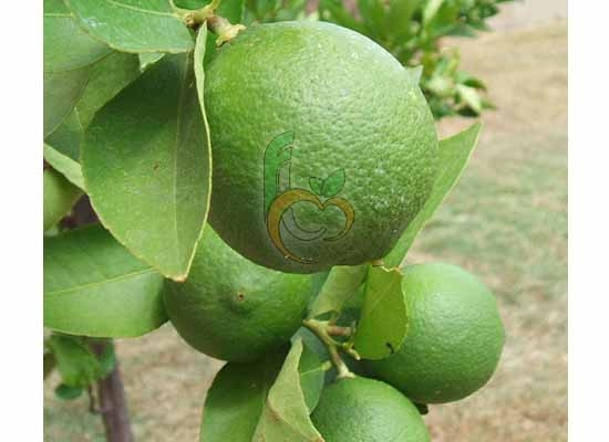 Egyptian Citrus Fruit Link