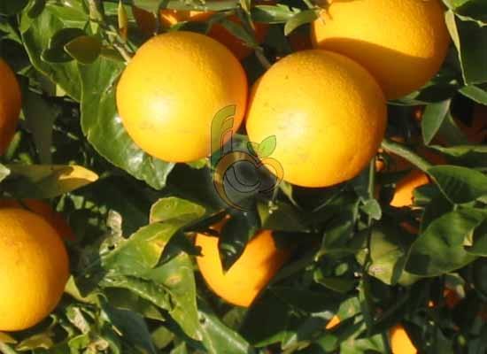 Orange Farms in Egypt