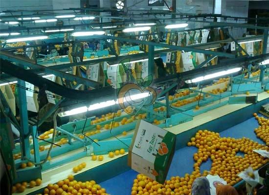 Citrus of Egypt packing