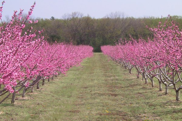 Pink trees in field of farm