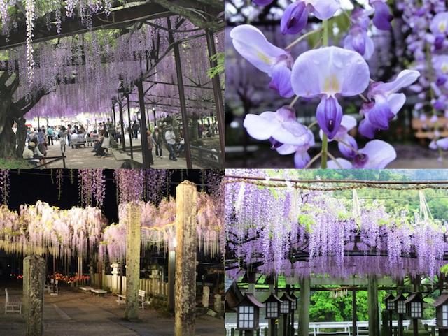 kurogi wisteria