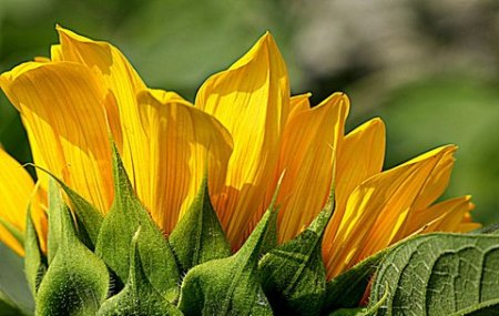 Sunflower by Debbie Glessner