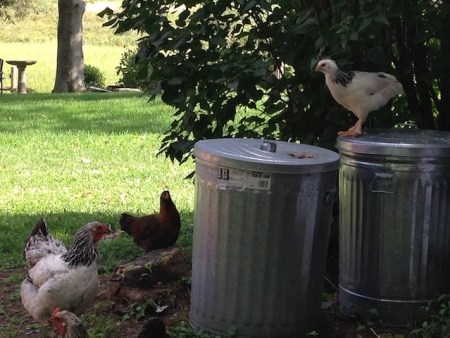chick on garbage