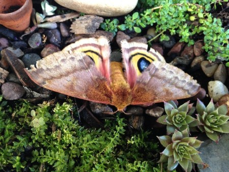 I found this moth on the side of the road on one of our walks this morning