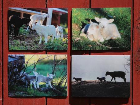 Lamb Notecards