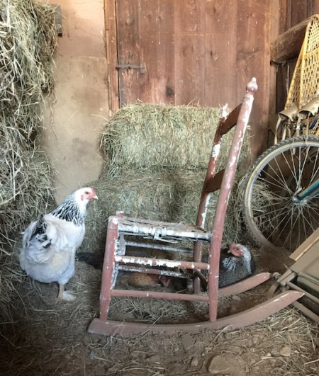 The hen's new favorite hang out in the barn
