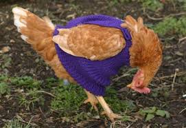 Someone else's hen wearing a sweater