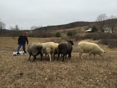 Herding the sheep in the back pasture yesterday.  Today it's covered in snow.
