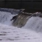 トロント市内で鮭の遡上が見られる場所