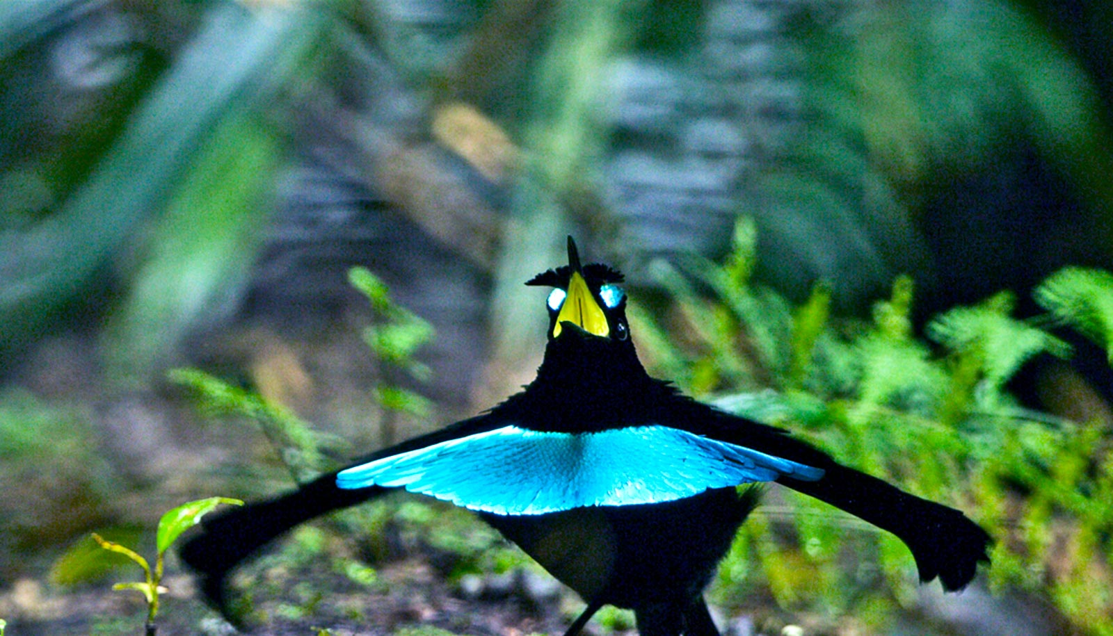 New bird of paradise has killer dance moves   Futurity