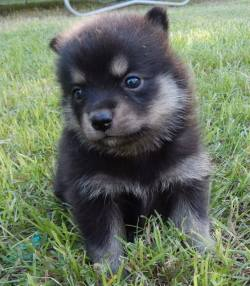 Small Of Chow Husky Mix