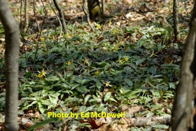 Trout Lilies at Wolf Creek Preserve