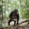 【悲報】無人航空機ドローン、チンパンジーに叩き落とされる