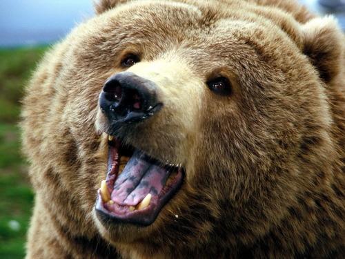 グリズリーベア、怒って、森林、動物