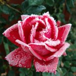 Star Roses 'RadRazz' A KnockOut Kissed with Ice Crystals