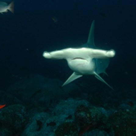 Galapagos Islands Hummerhead