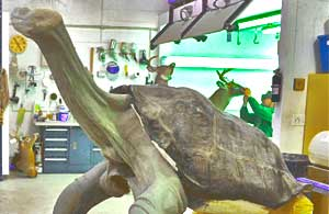 Lonesome George taxidermy