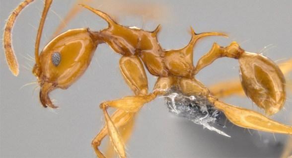 Le formiche che ricordano i draghi del Trono di Spade