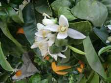 Orange Blosson Season