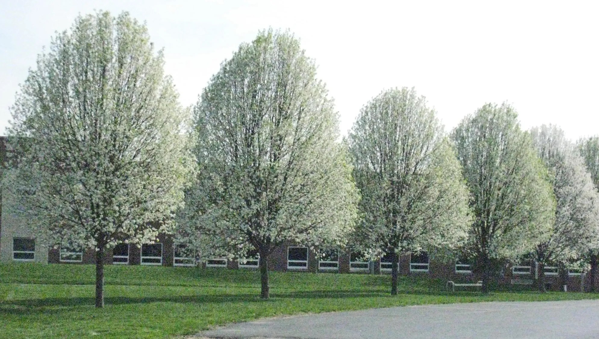 Fullsize Of Ornamental Pear Tree