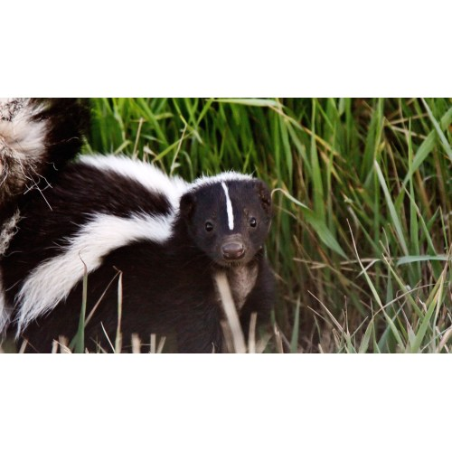 Medium Crop Of Get Rid Of Skunks