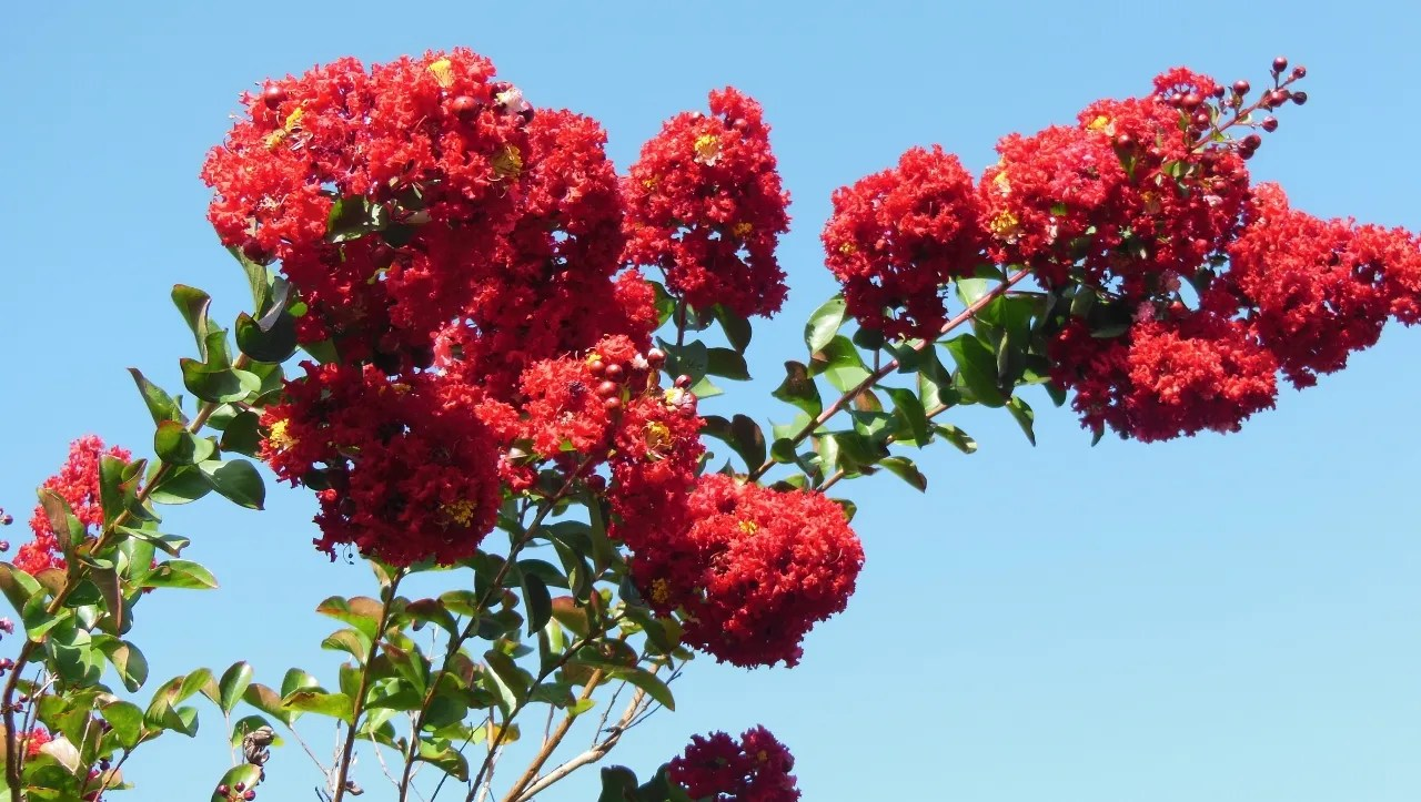 Affordable 635678539473388045 Crape Myrtle Blooms Can Be 6 To 18 Inches Long Tonto Crape Myrtle Spacing Tonto Crape Myrtle Growth Rate houzz-03 Tonto Crape Myrtle