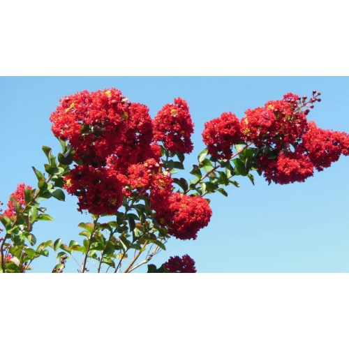 Medium Crop Of Tonto Crape Myrtle