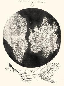 Jaantus 3.4 Sawir-gacmeed uu sameeyey Roobert Huuk, kaddib markii uu jeex yar oo geed ah uu ku fiiriyey weyneeye. Waxaa la aaminsan yahay in uu yahay sawirkii ugu horreeyey ee tusiyey jiritaanka unugga. Xigasho: Robert Hooke (Micrographia) [Public domain], via Wikimedia Commons.