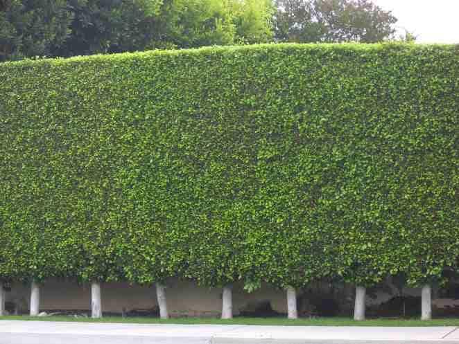 Image Result For Low Maintenance Evergreen Shrubs